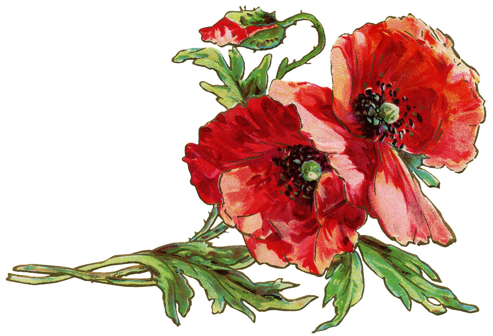 free vintage postcard graphic, poppy clipart, old fashioned.
