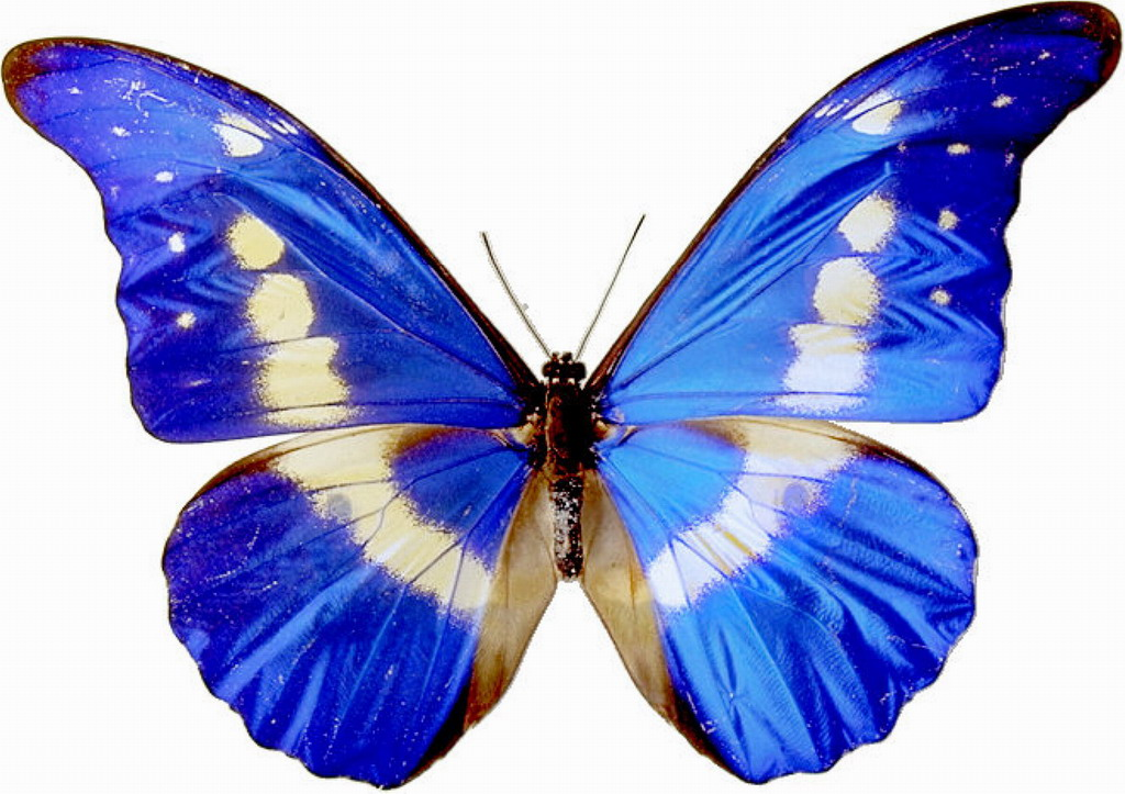 Butterfly clip art real.