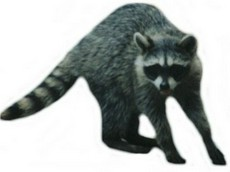 Realistic raccoon clip art free photos.