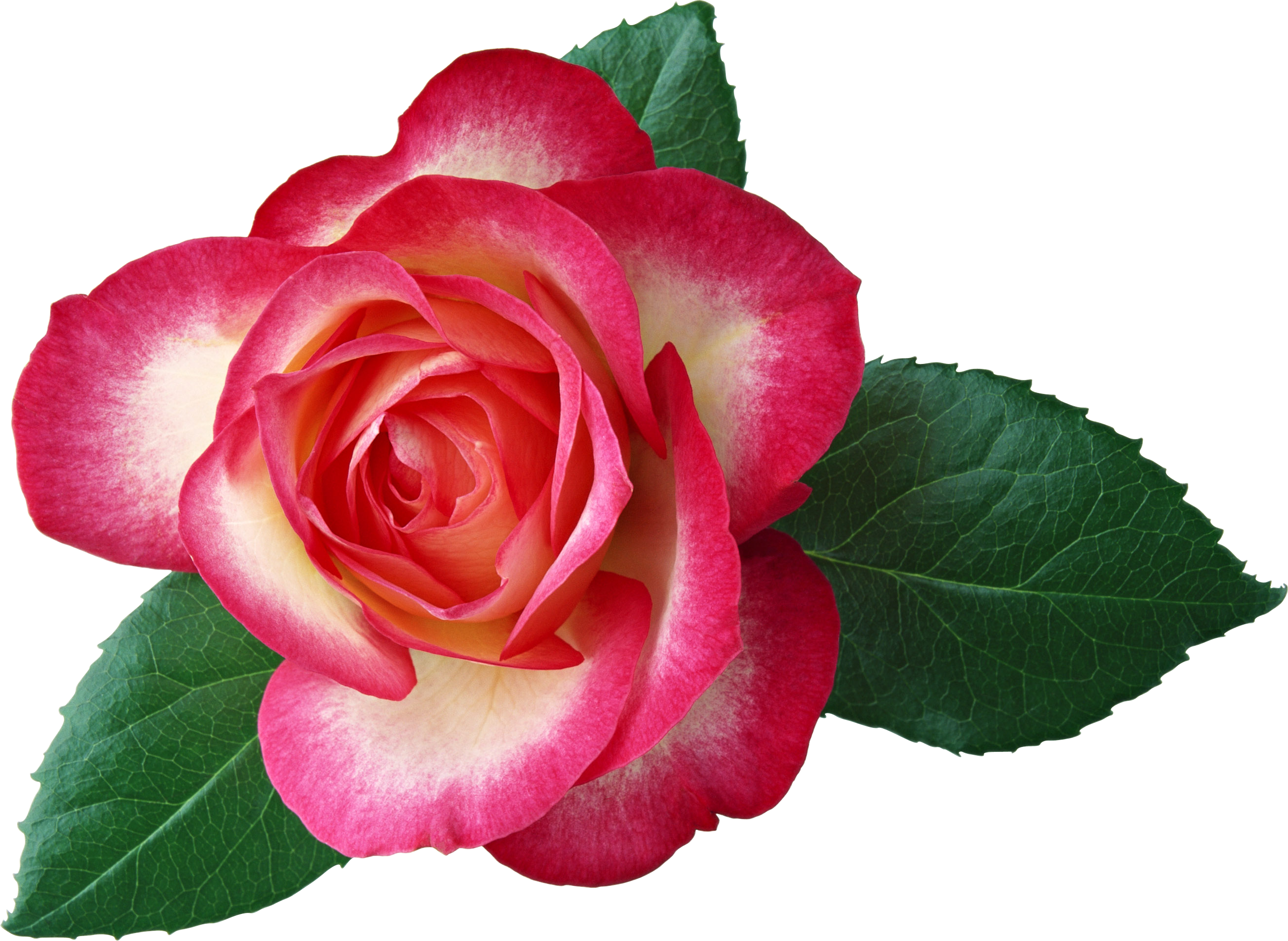 Large Rose Clipart Picture.