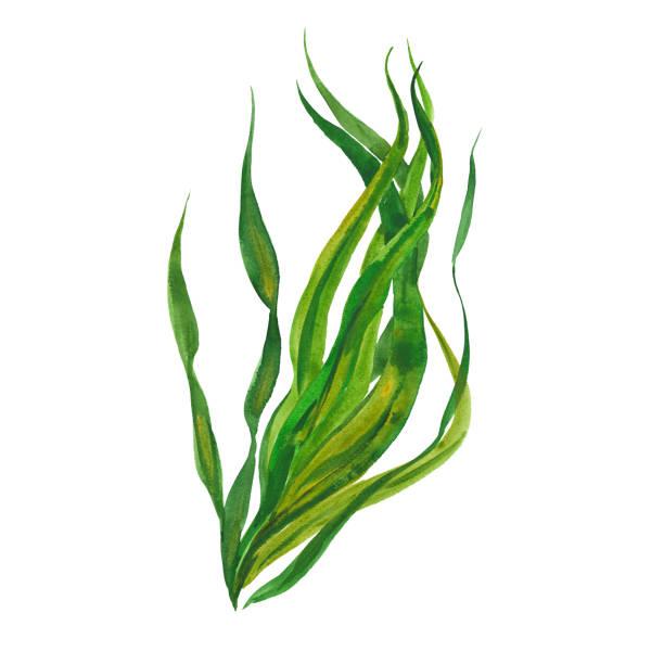 Best Seaweed Illustrations, Royalty.
