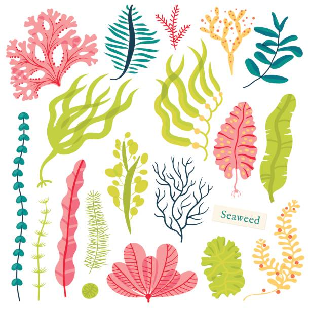 Best Seaweed Illustrations, Royalty.
