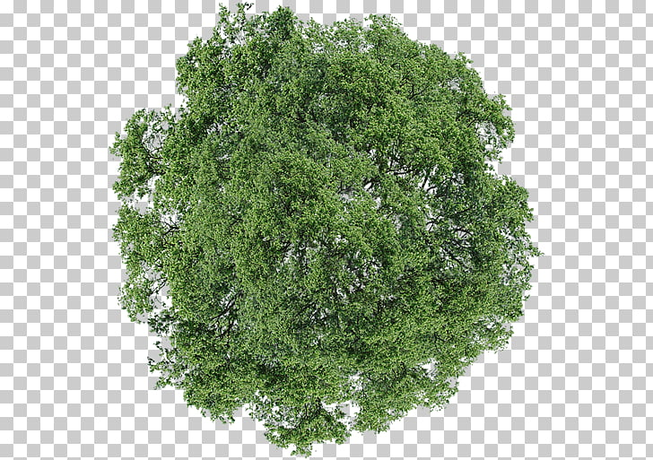 Tree Dill Shrub, tree top view, green leafed tree PNG.