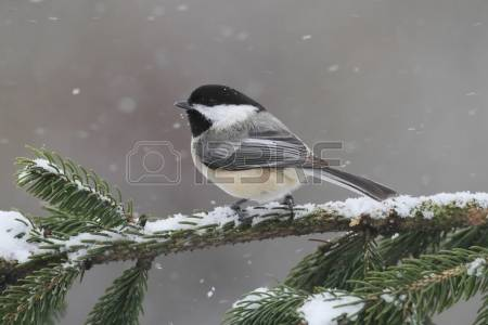 Chickadee Stock Photos & Pictures. Royalty Free Chickadee Images.