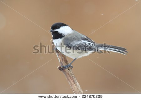 Chickadee In Snow Stock Images, Royalty.