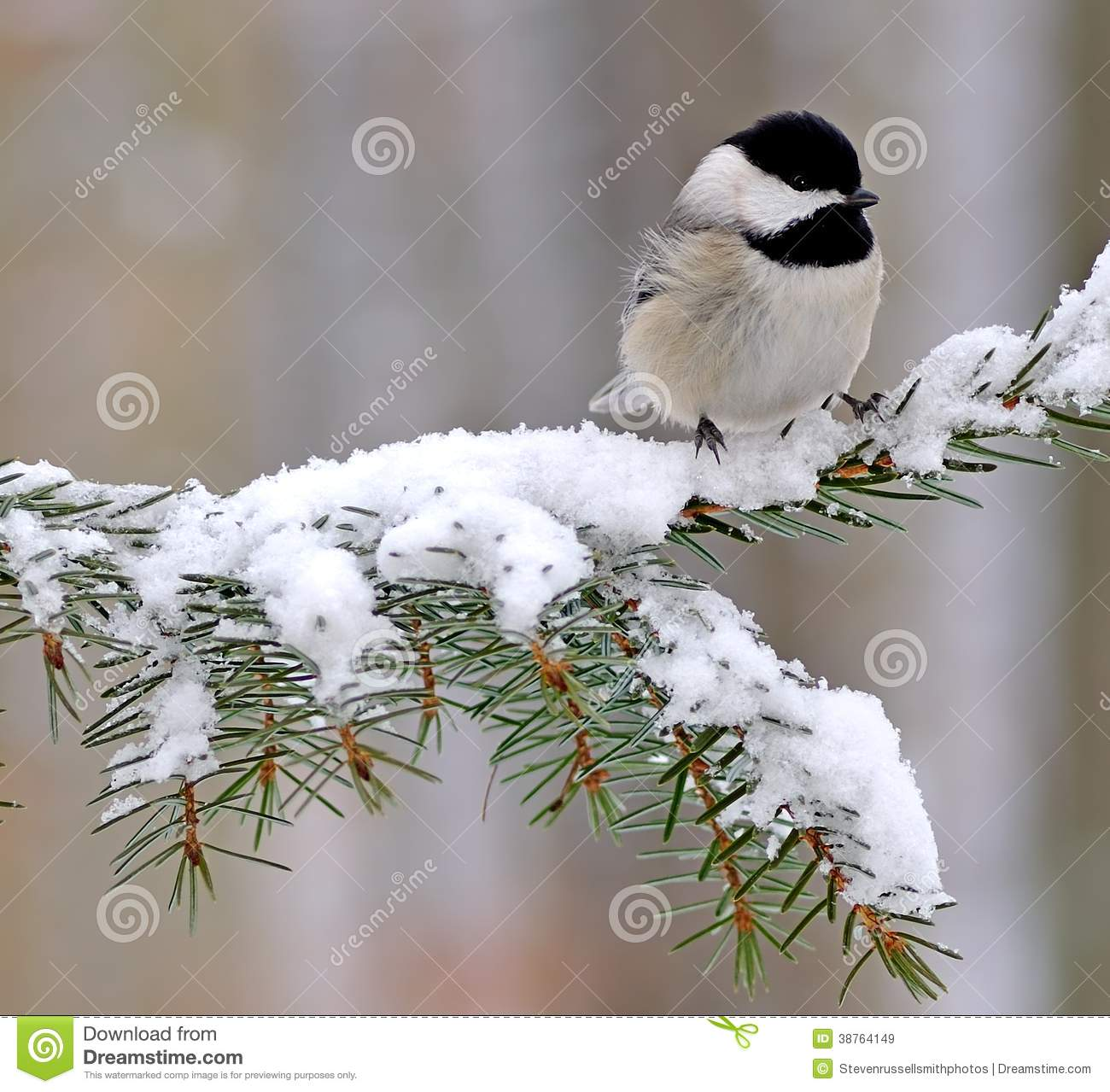 Black Capped Chickadee In Winter Snow Stock Image.