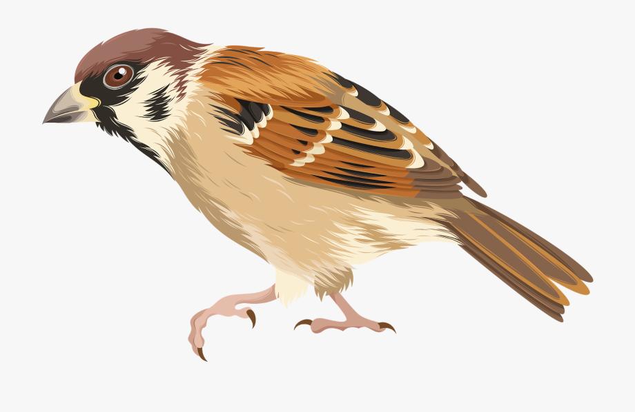 House Sparrow Bird Clip Art.