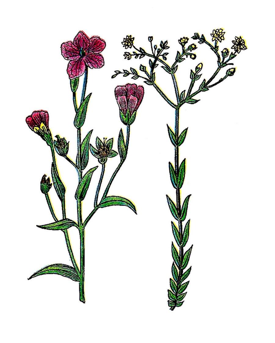 Download vintage botanical free clipart Botany Flower Clip art.