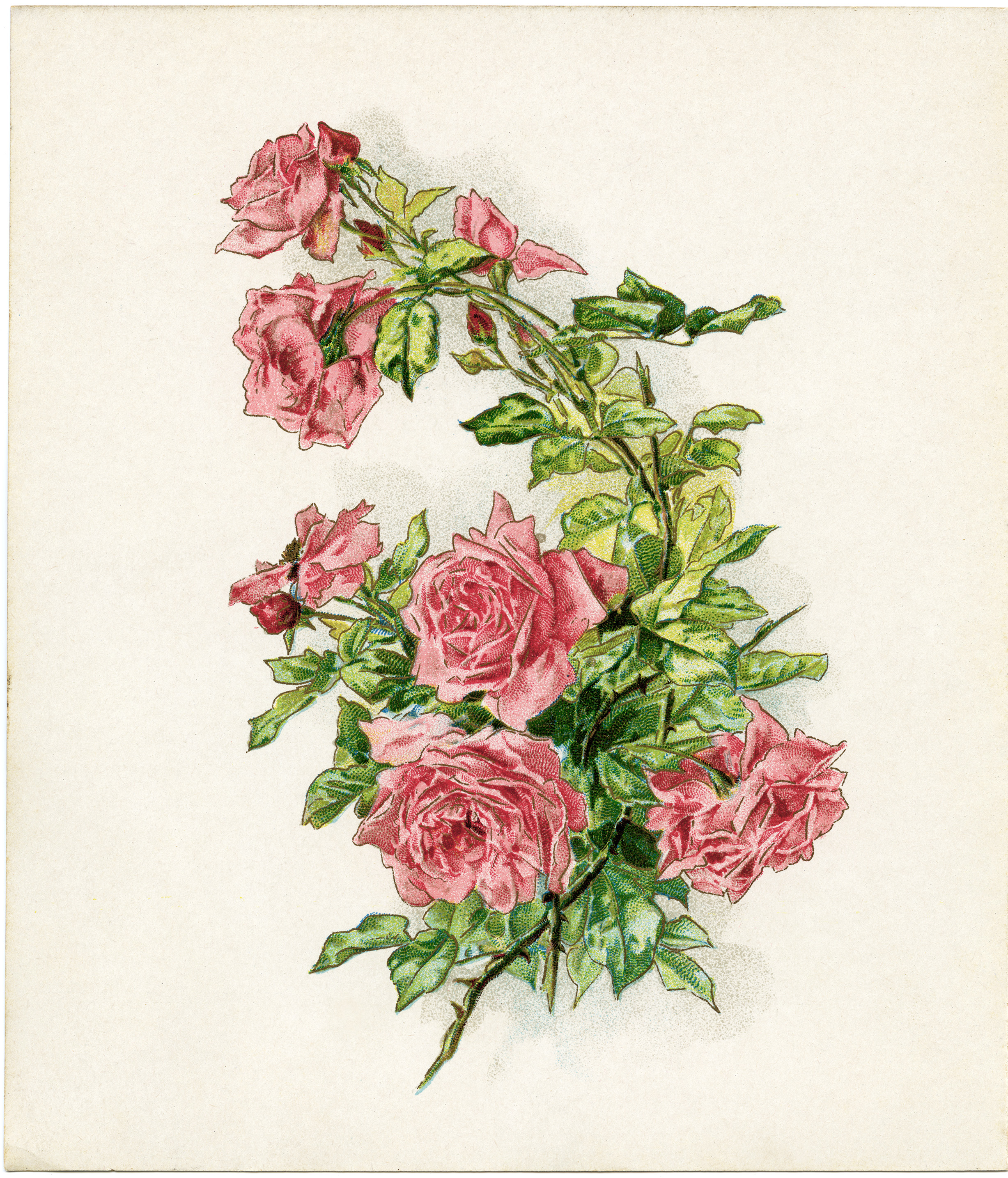 Free Vintage Image ~ Branch of Pink Roses.