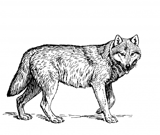 Wolf Illustration Clipart Free Stock Photo.