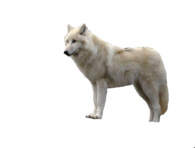 Wolf PNG image, free picture download.