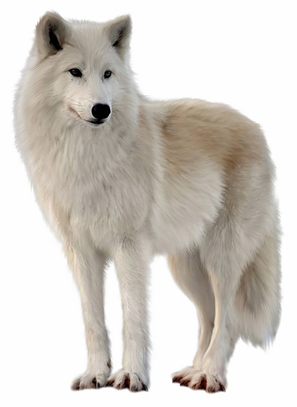 Wolf PNG Free Pic.