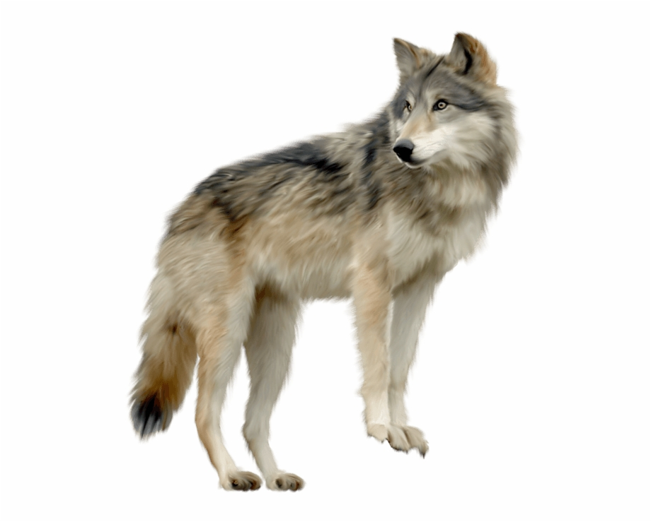 Wolf Looking Sideview.