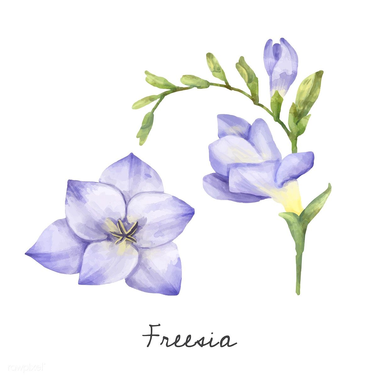 Illustration of Freesia flower isolated on white background.