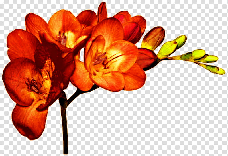 Orange Freesia transparent background PNG clipart.