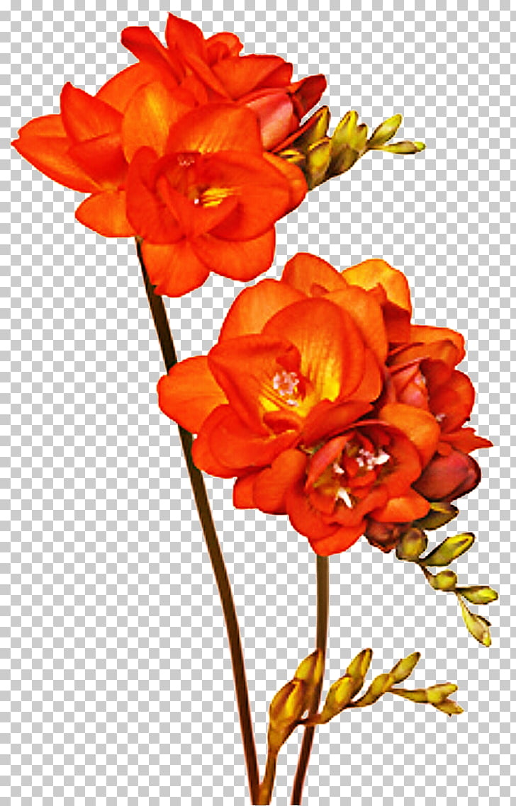 Floral design Cut flowers Freesia, freesia PNG clipart.