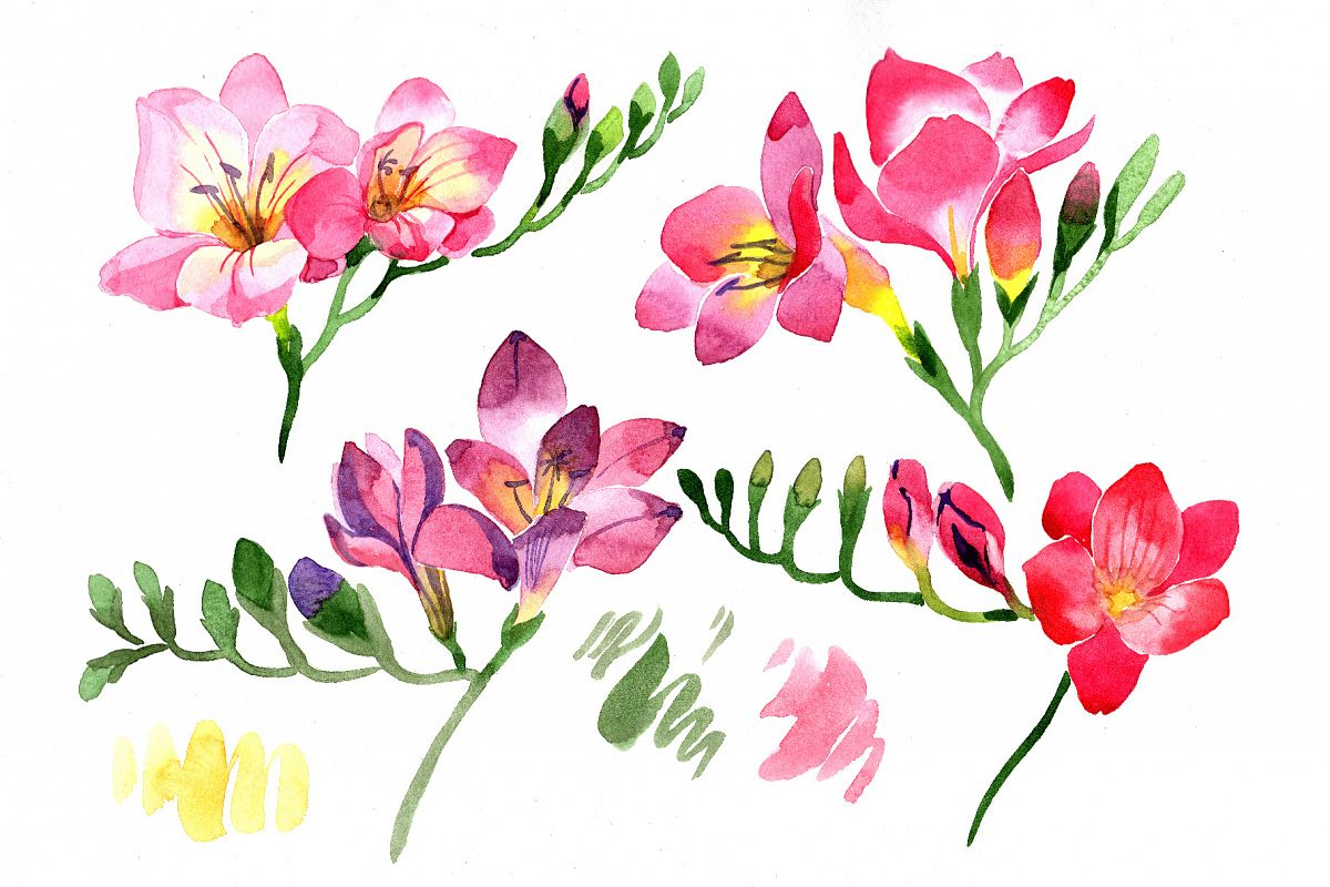Pink Freesia flower Watercolor png.