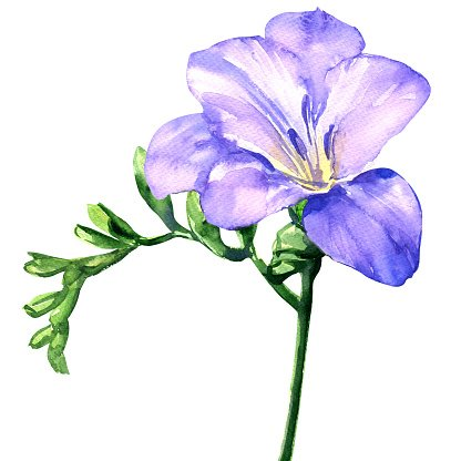 Delicate lilac freesia flower blossom, isolated on white.