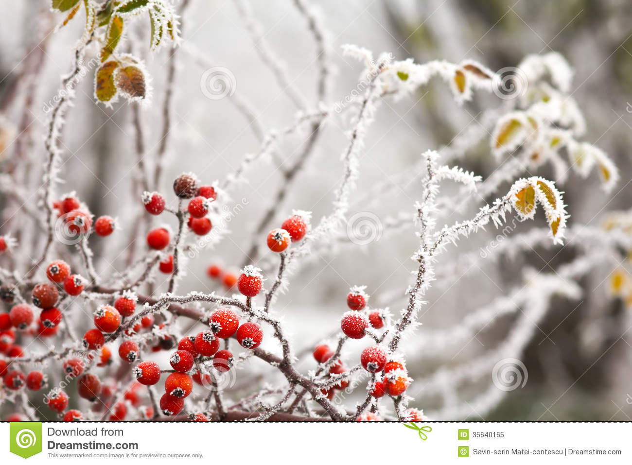 Briars Fruit And Freezing Fog Royalty Free Stock Photo.