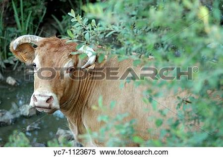 Stock Image of French countryside cow yc7.