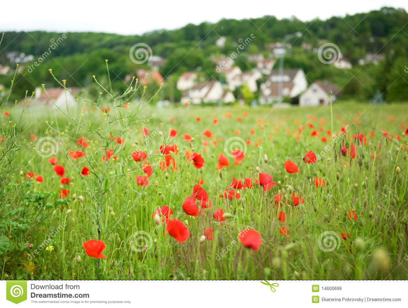 French Countryside With Blossoming Poppies Royalty Free Stock.