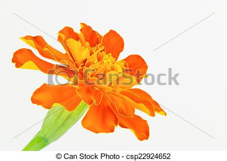 Stock Images of Orange French Marigold.