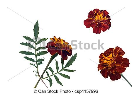 French marigold clipart #8