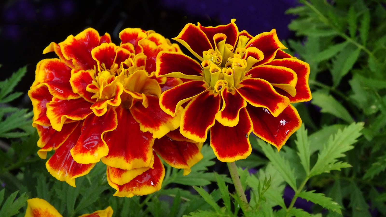 French marigold clipart #6