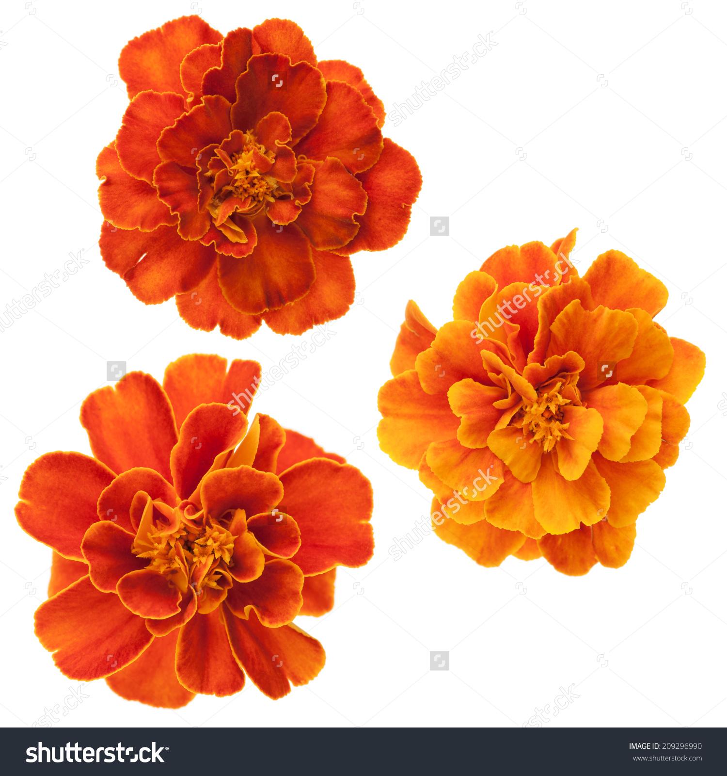 Set Three French Marigolds Tagetes Patula Stock Photo 209296990.