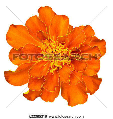 Stock Photograph of Ornage french marigold k22085319.
