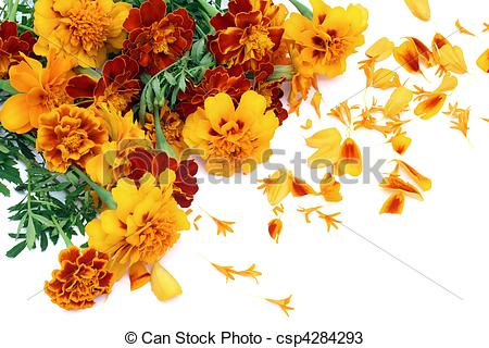 Stock Photos of French Marigold isolated postcard.