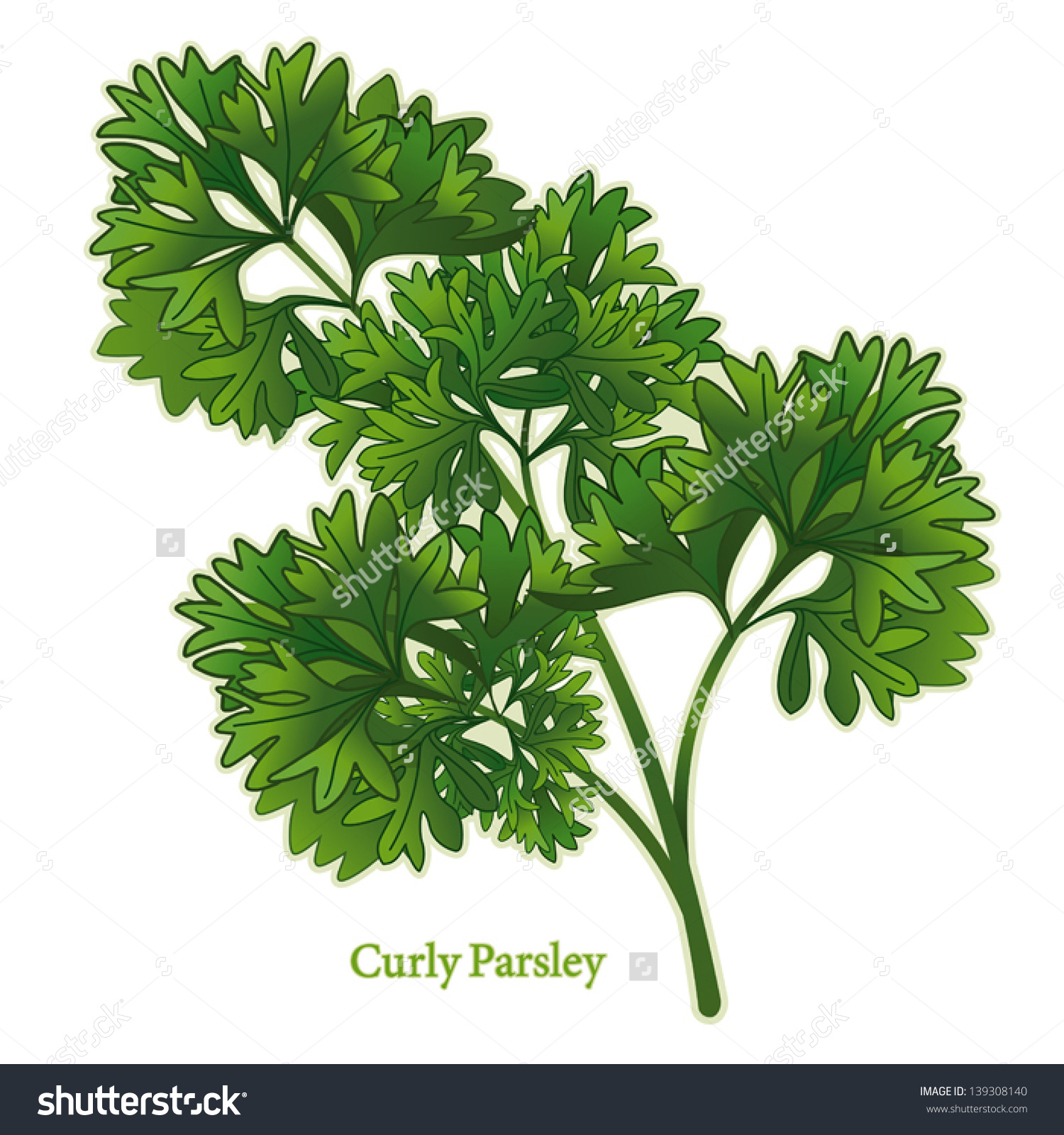 Parsley Herb Curly Leaves Used Middle Stock Vector 139308140.
