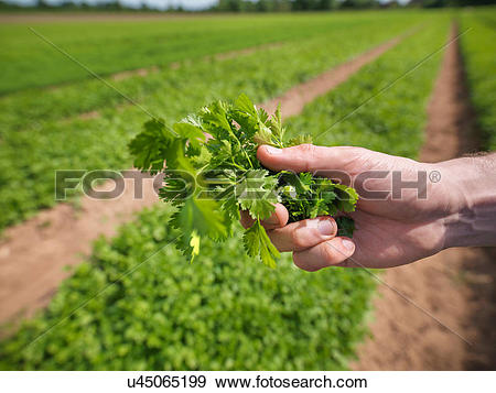 Stock Photograph of Worker holding fresh crop u45065199.