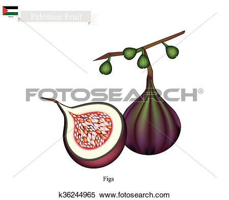 Clipart of Fresh Figs, A Famous Fruit in Pakistan k36244965.