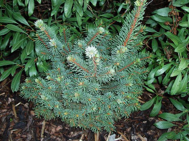 Picea abies Kamberk 5.jpg.