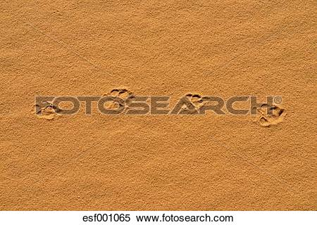 Stock Image of Algeria, Sahara, Tassili n' Ajjer, fresh track of a.