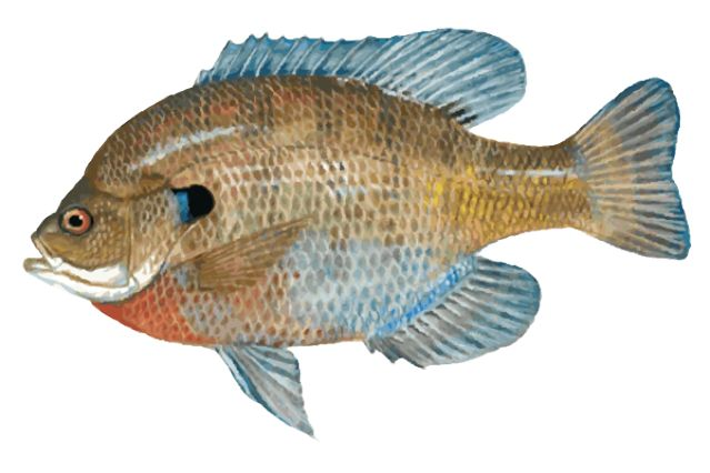 Pickerel Clipart.