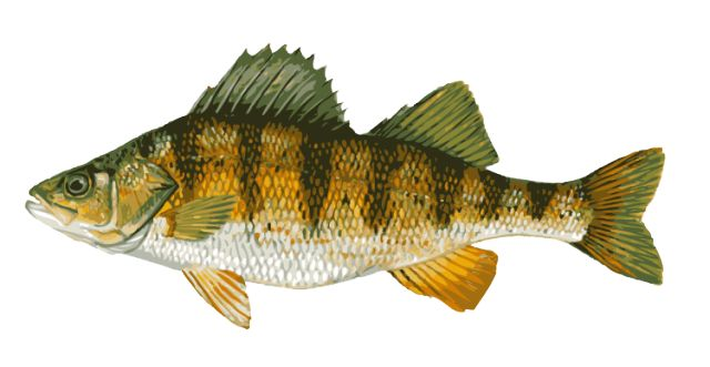 Freshwater fish clipart #14