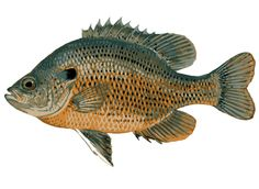 Freshwater fish clipart #16