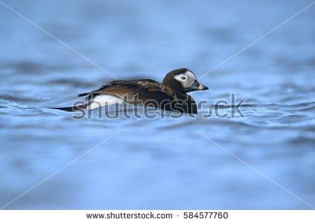 Diving Ducks Stock Photos, Royalty.