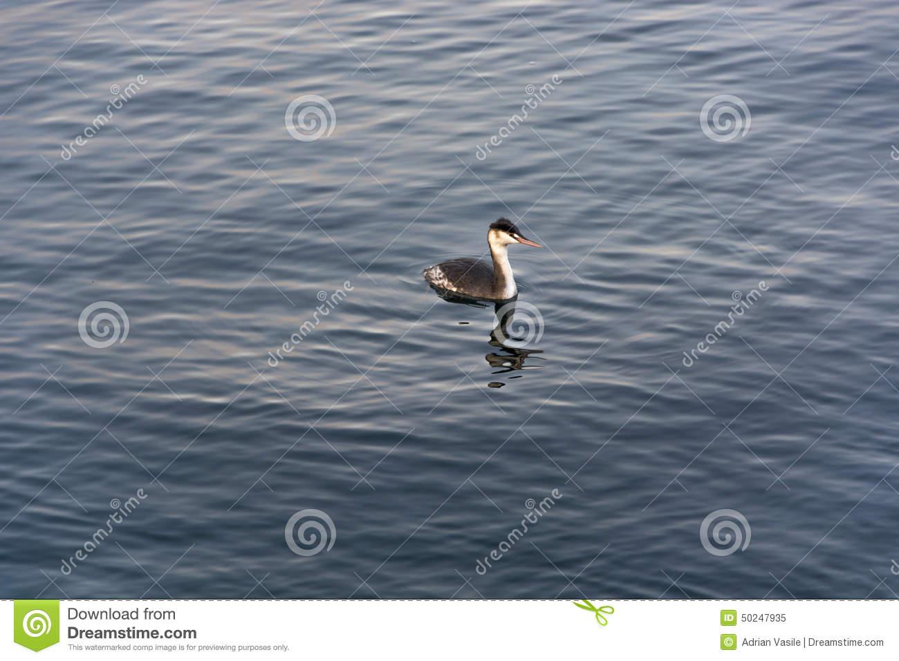 Grebe Fresh Water Diving Bird. Outdoor Shot Using Natural Light.