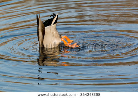 Diving Duck Pond Stock Photos, Royalty.