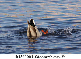Freshwater diving birds Stock Photo Images. 34 freshwater diving.