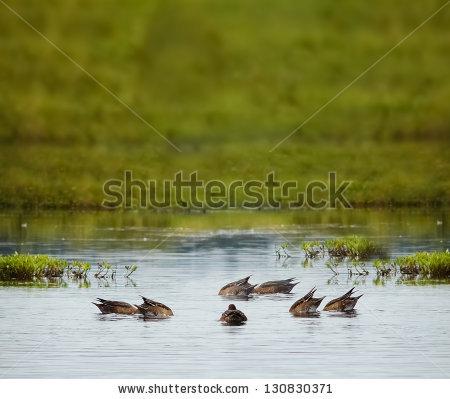 Duck Dive Stock Photos, Royalty.