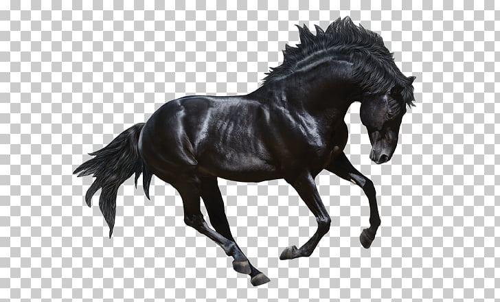 Andalusian horse Stallion Friesian horse Arabian horse.