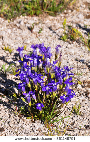 "fringed Gentian"" Stock Photos, Royalty."