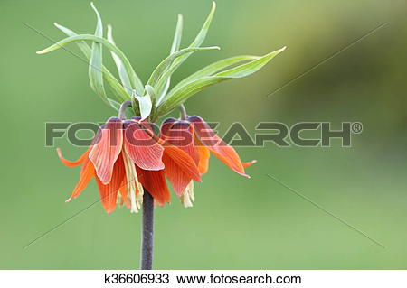 Stock Photo of fritillaria imperialis in Turkey mountains with.