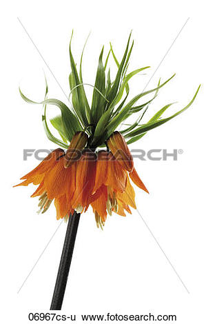 Stock Images of Crown imperial (Fritillaria imperialis), close.