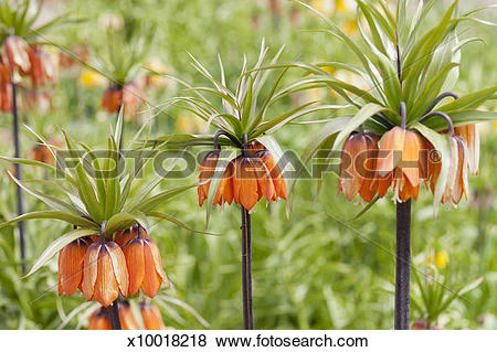 Pictures of Crown Imperial Lily, Fritillaria Imperialis x10018218.