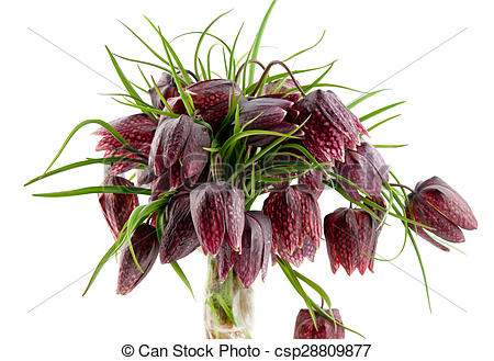 Stock Illustrations of fritillaria meleagris isolated on white.